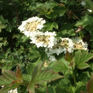Mixed native instant hedge in flower